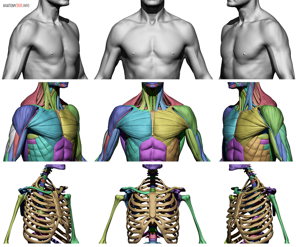 Male Body Reference | Anatomy 360