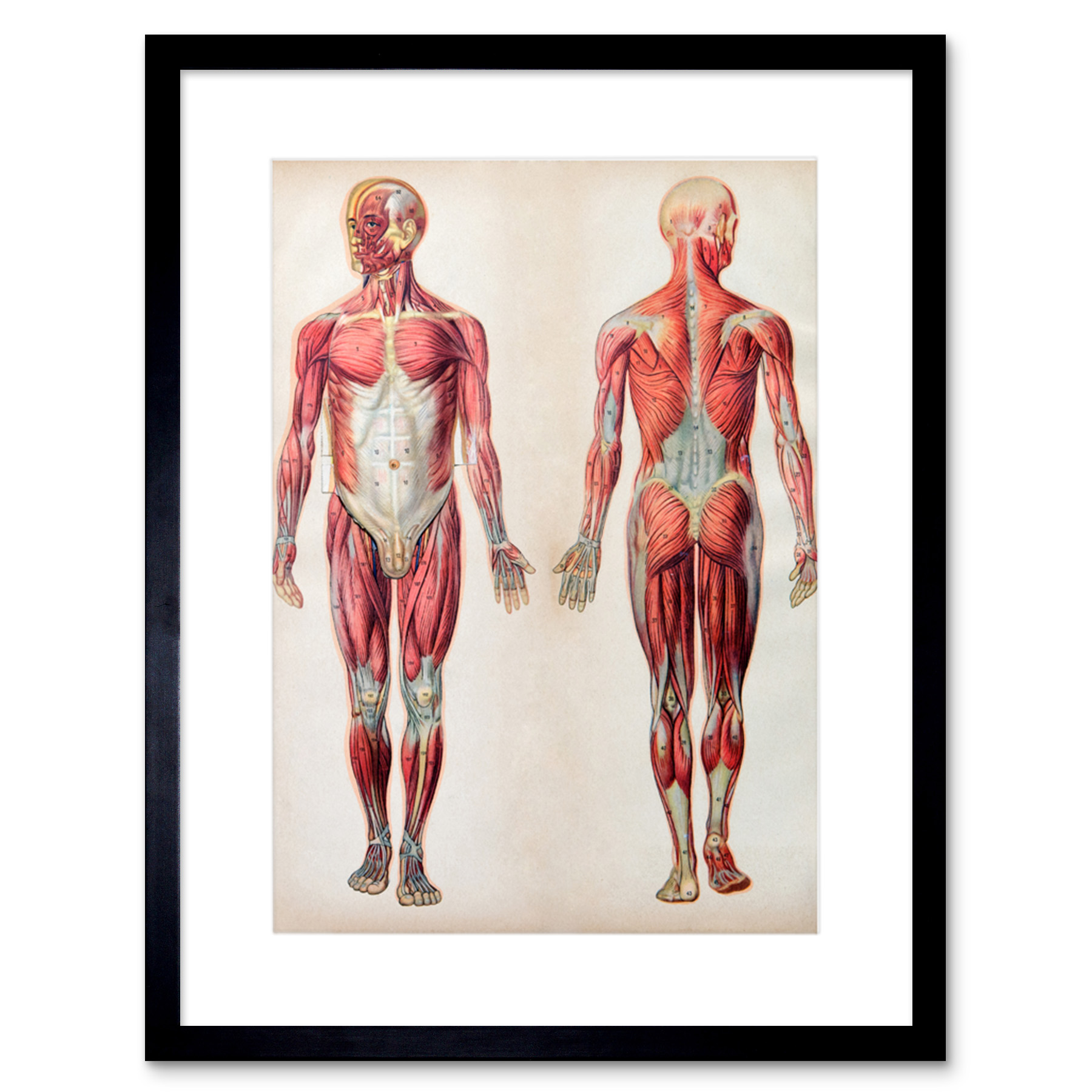 Human Body Anatomy Muscles Art Print Framed Poster Wall Decor Ebay