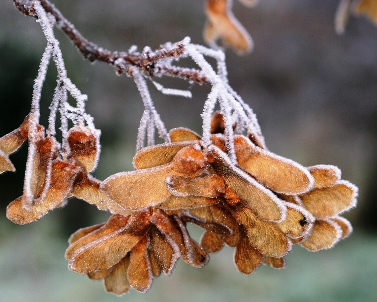 Seed pods which adorn Field Maple through the winter