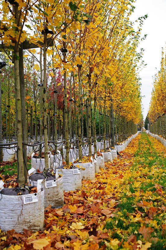 Acer campestre Elsrijk  on our nursery in the autumn