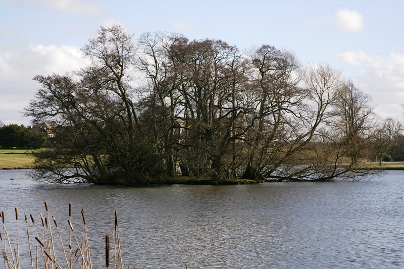 Mature Alnus glutinosa planted on a small island Catkins which adorn the Alnus glutinosa towards the end of the season