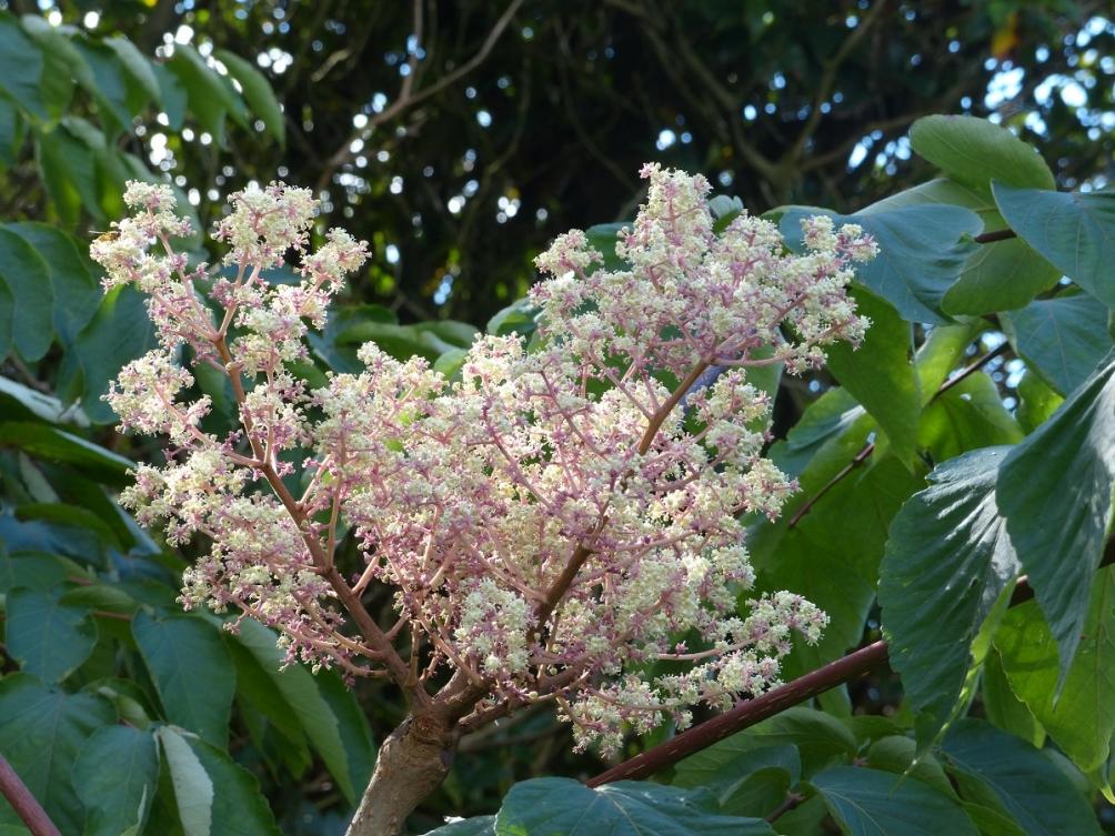 The flowers of the Angelica Tree Mature Aralia elata The leaves of Aralia elata