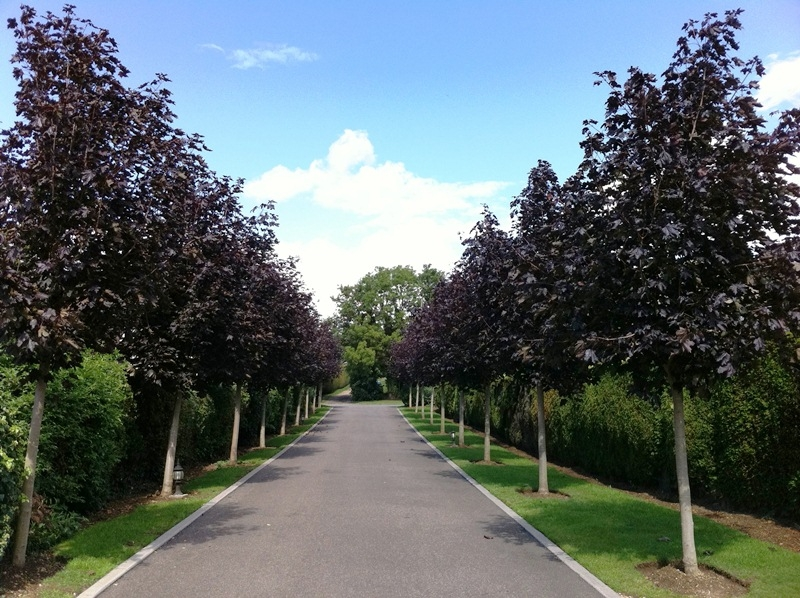 An avenue of Acer platanoides Crimson King planted by a client Mature Acer platanoides Crimson King adorned with small flowers in spring Mature Acer platanoides Crimson King at Ness Botanic Gaedens