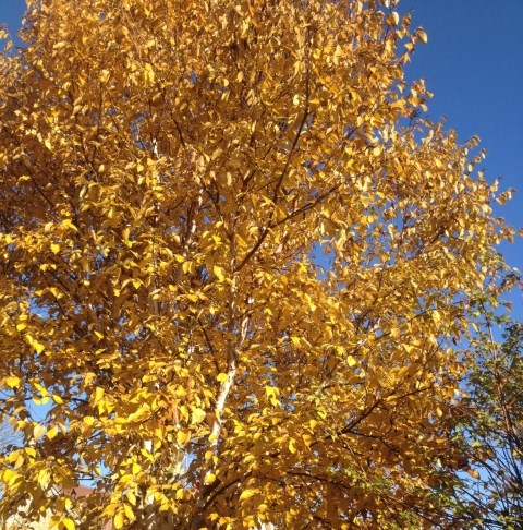 Autumn foilage of The Chinese Red Birch