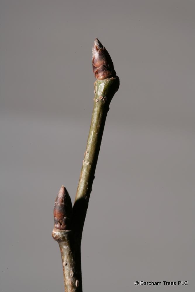 The bud of Ulmus dodoens in detail
