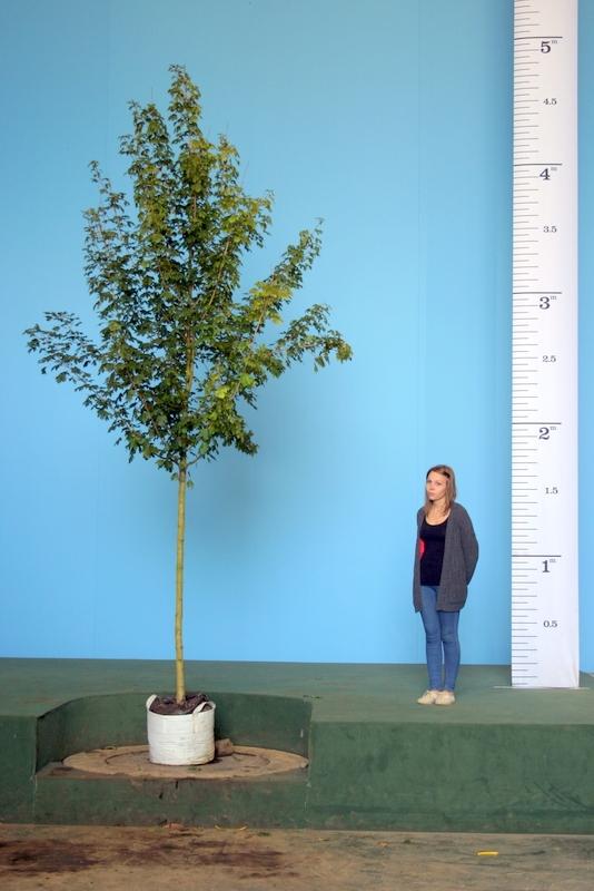 Scaled image of Acer campestre Queen Elizabeth size Medium