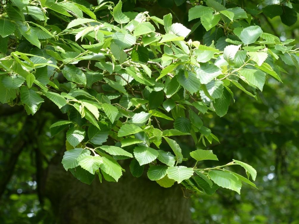 Foliage of Alnus incana Mature Alnus incana