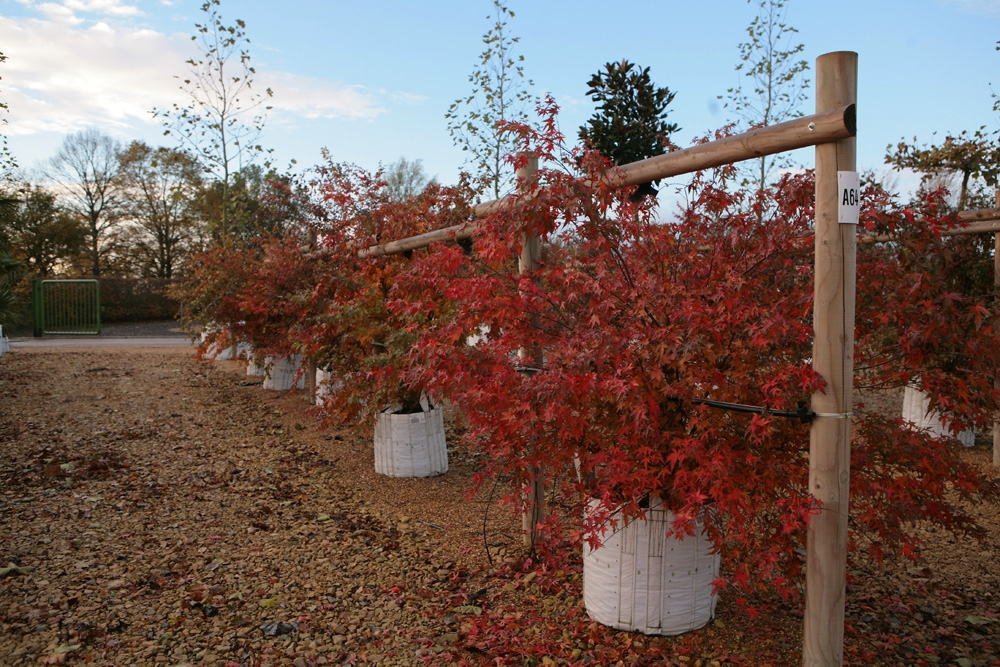 Multi-stemmed Acer palmatum on our nursery in the autumn Summer foliage of Acer palmatum multi-stem