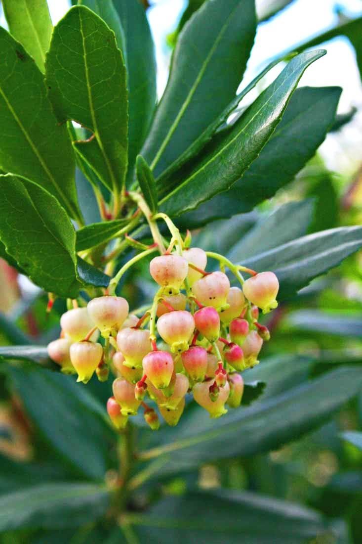 The flower of Arbutus unedo