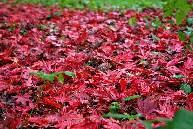 Autumn leaves on the ground from Acer palmatum Atropurpureum Single Acer palmatum Atropurpureum on our nursery