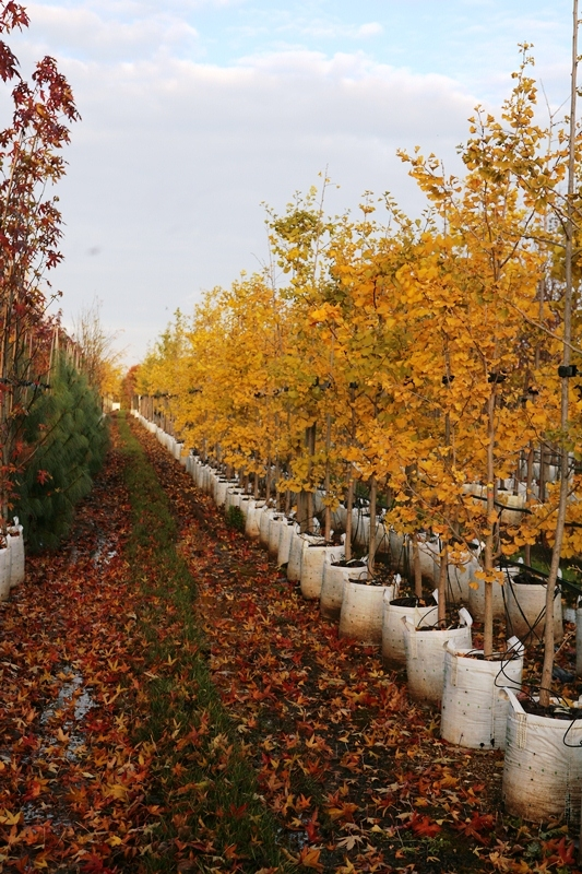Ginkgo biloba showing some autumn colour on the Barcham Trees nursery The bark of mature Ginkgo biloba A mature specimen of Ginkgo biloba Mature Ginkgo biloba in autumn foliage