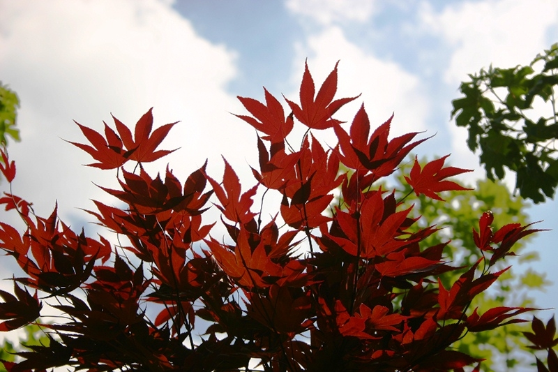 Acer palmatum Fireglow foliage up close