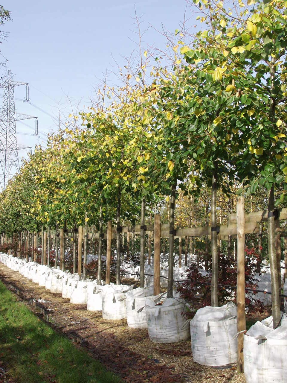 Tilia x euchlora in early autumn on the nursery Seed pods and foliage of Tilia x euchlora
