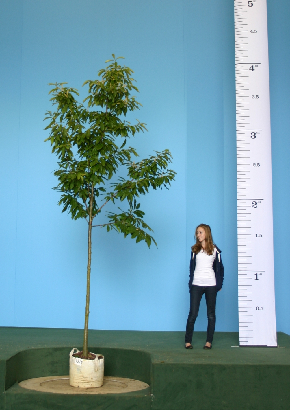 A scaled, medium sized specimen of Castanea sativa A mature specimen of Castanea sativa in an urban environment Medium sized Castanea sativa on the Barcham Trees nursery A young Castanea sativa at Westornbirt arboretum