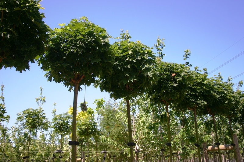 Crowns of Acer platanoides Globosum on the nursery