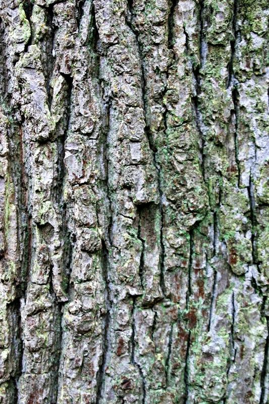 Mature Quecus robur planted in a field Instant sized Quercus robur in autumn on our nursery Scaled image of Quercus robur size Medium Semi-mature Quercus robur planted in a park in Ely Crinked bark of a mature Quercus robur
