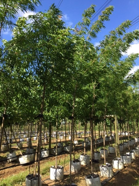 Medium sized Acer platanoides Peters Proud