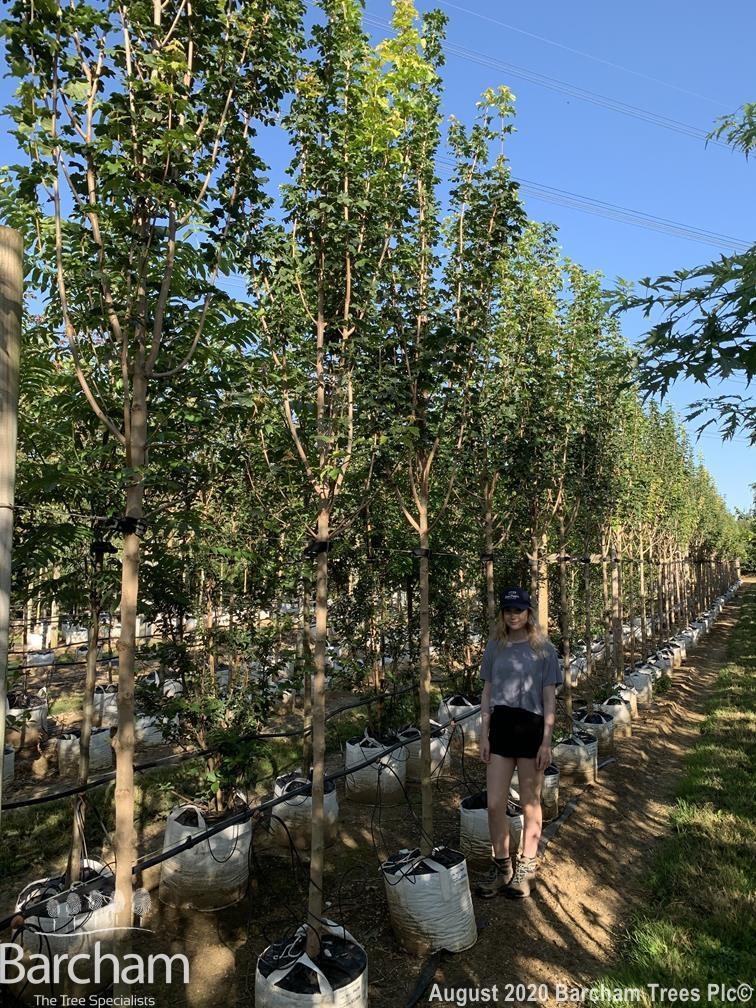 Acer campestre Lienco