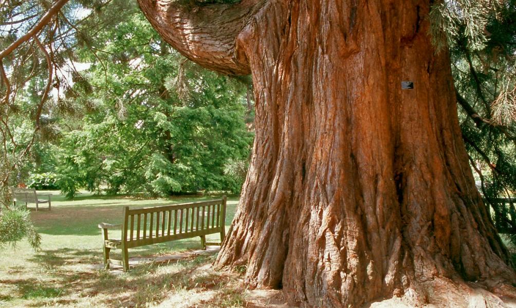 Mature specimens of Sequoiadendron giganteum The interesting bark of a mature specimen of Sequoiadendron giganteum Sequoiadendron giganteum on the Barcham Trees nursery
