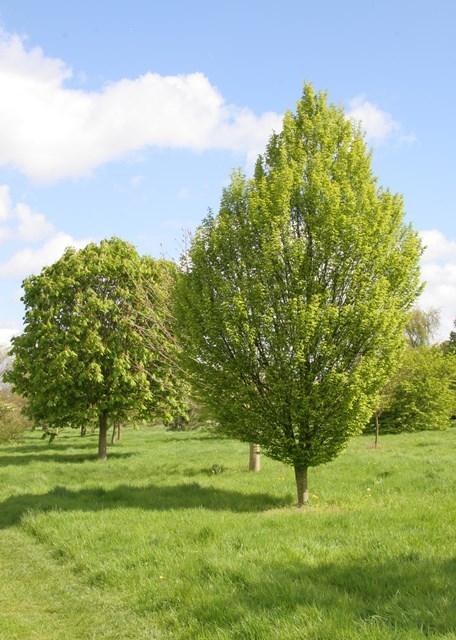 A mature specimen of Carpinus betulus Fastigiata in a parkland environment Instant size Carpinus betulus Fastigiata