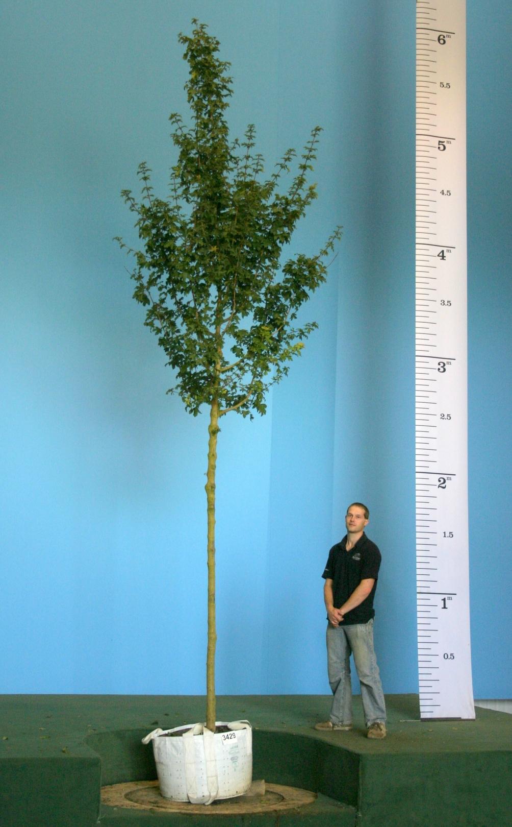 Scaled image of Acer campestre Elsrijk size Large Acer campestre Elsrijk on our nursery in the autumn