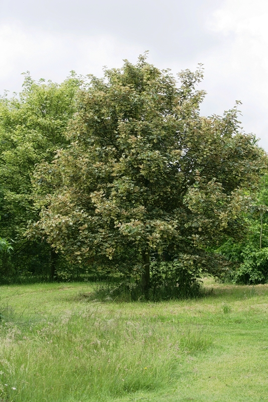 Semi-mature Acer pseudoplatanus Leopoldii planted in the landscape