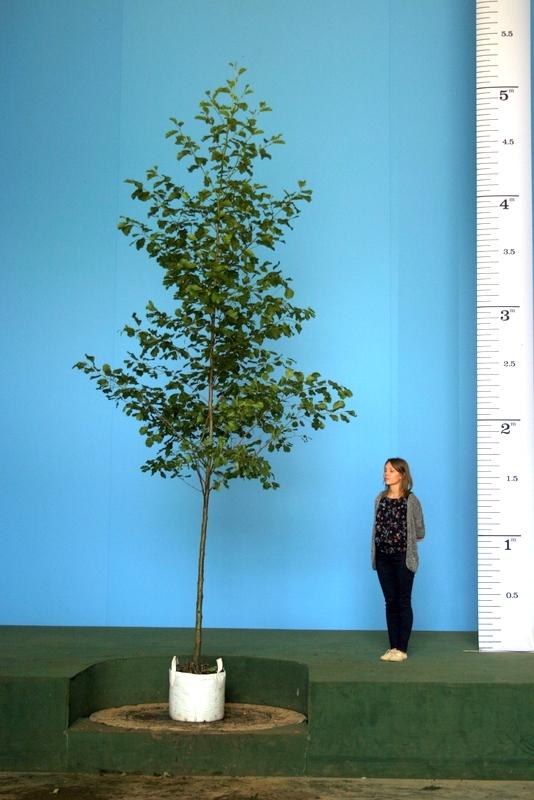 Scaled image of Alnus glutinosa size Medium Mature Alnus glutinosa planted in a rural setting
