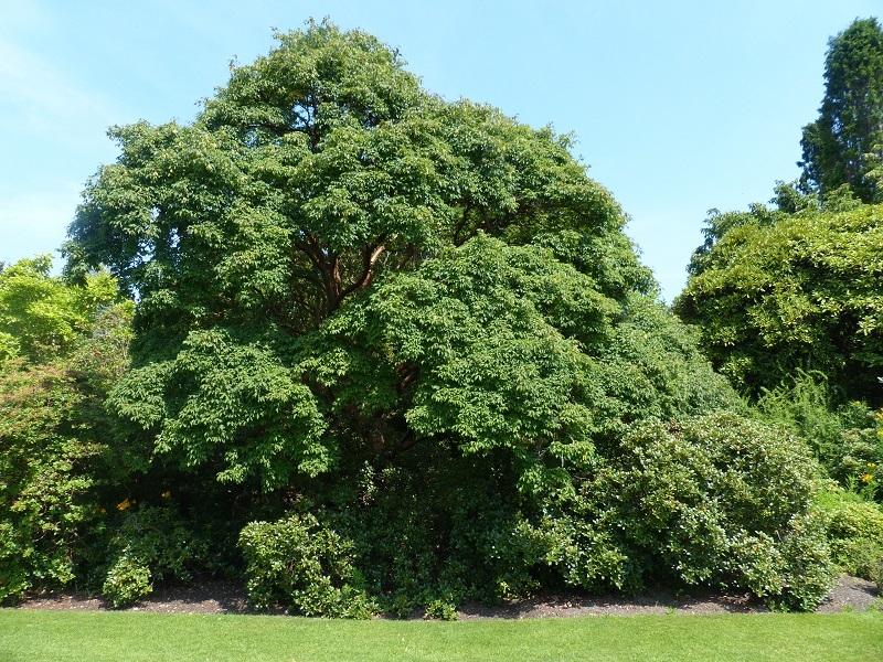 Acer griseum autumn colour