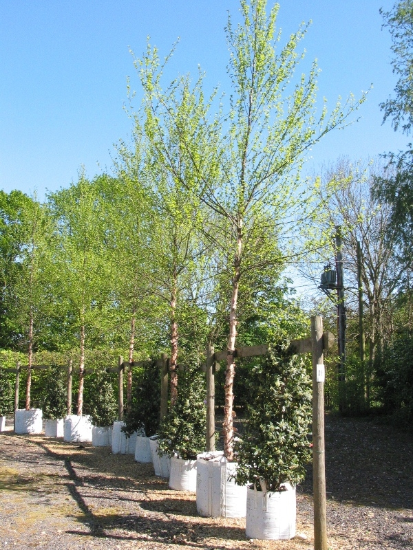 Instant size Betula nigra on our nursery Scaled image of Betula nigra, size Medium Betula ermanii foliage and catkins Semi mature river birch, stunning against the blue sky