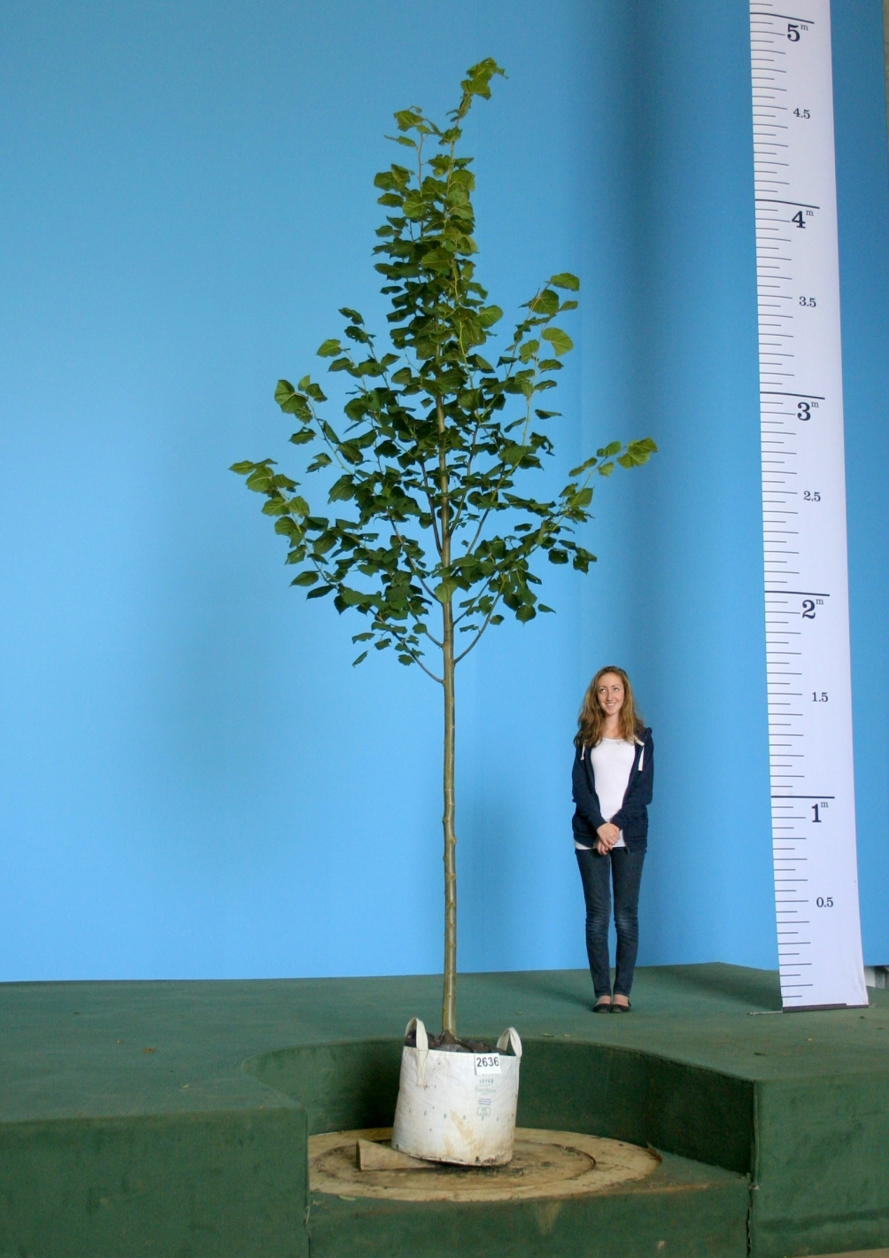 Mature Tilia platyphyllos planted in parkland Scaled image of Tilia platyphyllos size Medium
