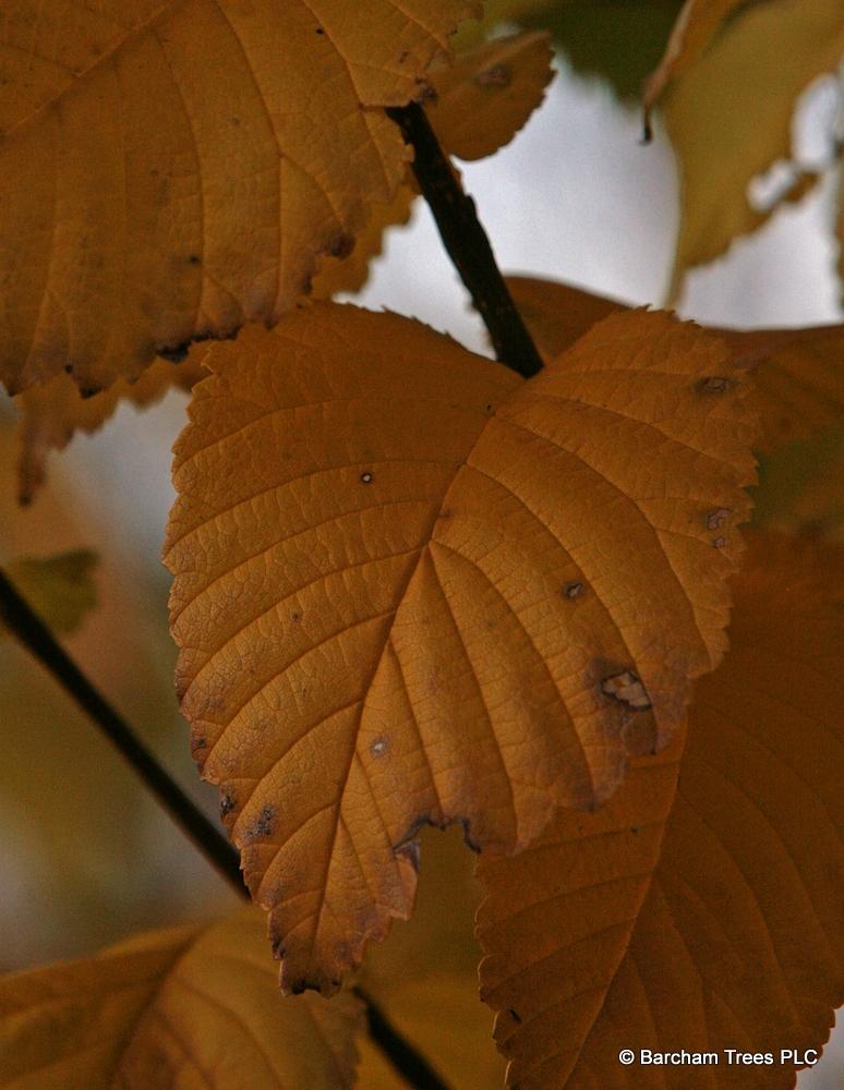 The autumn colour of Ulmus Clusius The autumn colour of Ulmus Clusius on the Barcham Trees nursery