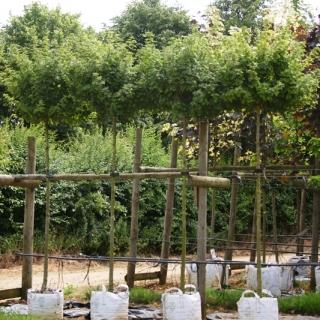 Matured crowns of Acer campestre Nanum on our nursery