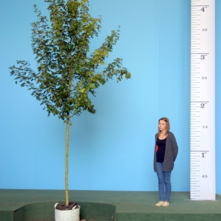 Scaled image of Acer campestre Queen Elizabeth size Medium