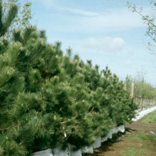 A mature specimen of Pinus nigra Austriaca in a parkland environment The mature fissued bark of Pinus nigra Austriaca Pinus nigra Austriaca on the Barcham Trees nursery