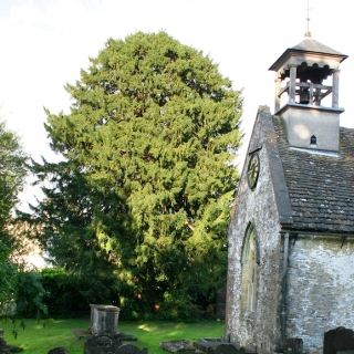 Mature Taxus baccata planted in a church yard