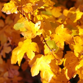 Yellow autumn foliage of Acer campestre Seed pods which adorn Field Maple through the winter Mature Acer campestre planted in a residential area Scaled image of Acer campestre size Medium