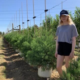 Small sequoiadendron giganteum