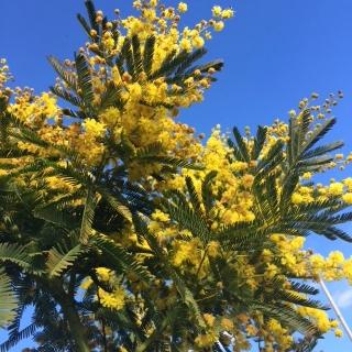 Golden sprays of flowers Foliage of Acacia dealbata in detail  Flower and foliage of Acacia dealabta