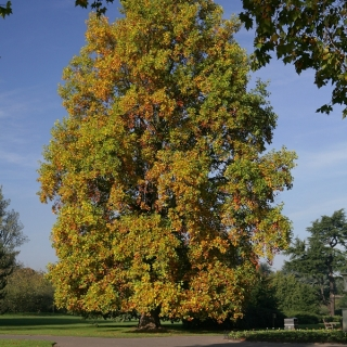 The autumn colour of a mature Liriodendron tulipifera in an urban environment Mature specimen of Liriodendron tulipifera Liriodendron tulipifera in summer foliage on the Barcham Trees nursery A scaled, Super Instant specimen of Liriodendron tulipifera