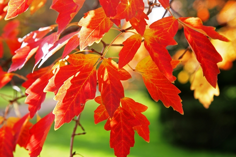 Acer griseum autumn colour