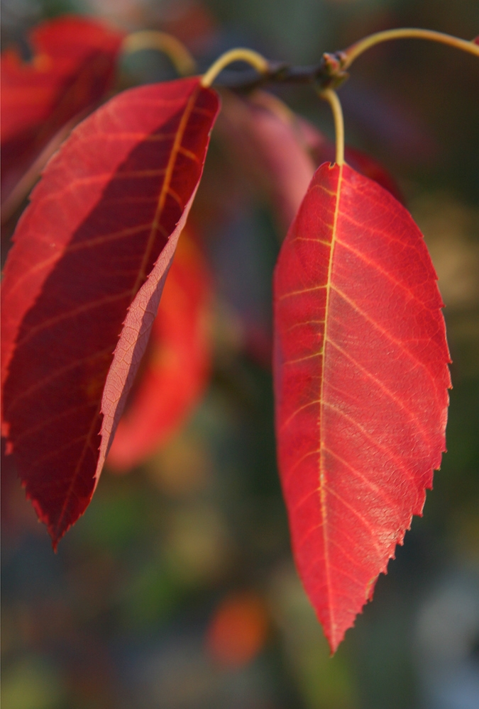The brilliant red foliage of Amelanchier lamarckii in autumn time