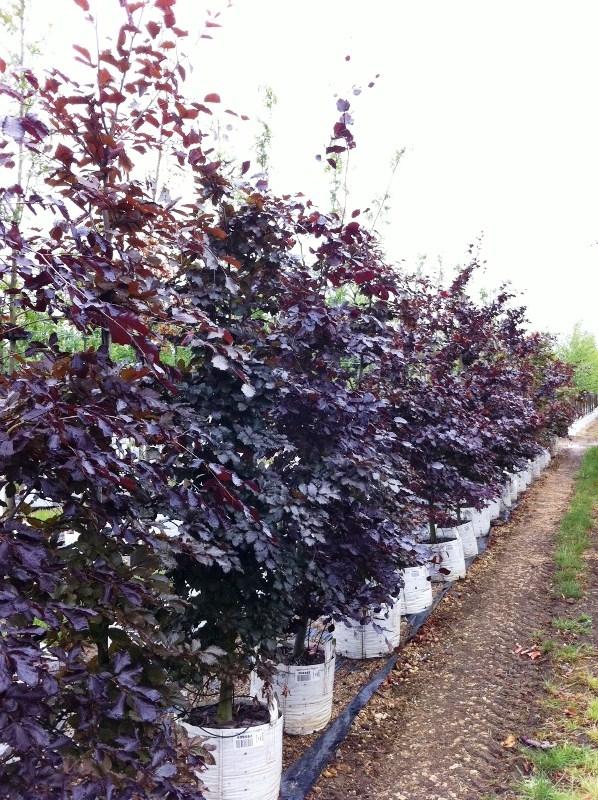 Fagus sylvatica Purpurea on the rows of the Barcham Trees nursery