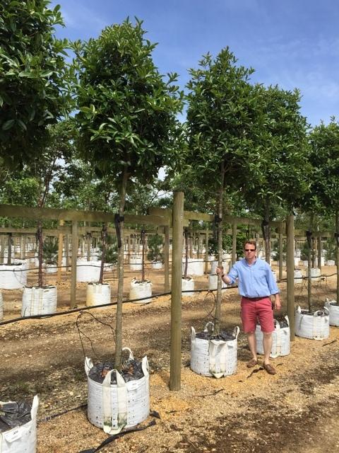 Osmanthus armathus tree