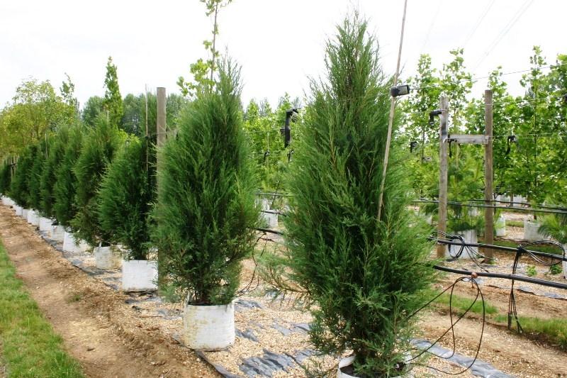 Juniperus scopulorum Blue Arrow on the Barcham Trees nursery