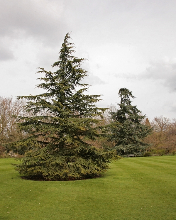 Mature Atlas Cedar  Cedrus atlantica at Barcham Trees Single specimen of Cedrus atlantica