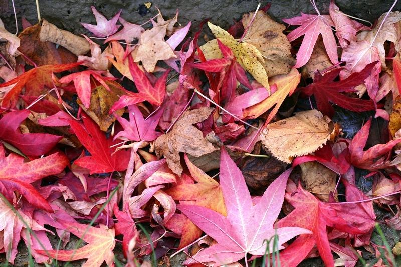 The fallen autumn leaves of Liquidambar styraciflua