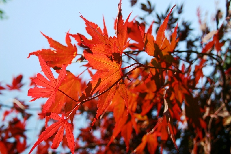 Autumn leaves of Acer palmatum Bloodgood