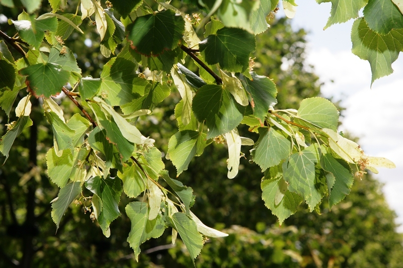 Heart shaped foliage and seed pods on Tilia cordata Rancho
