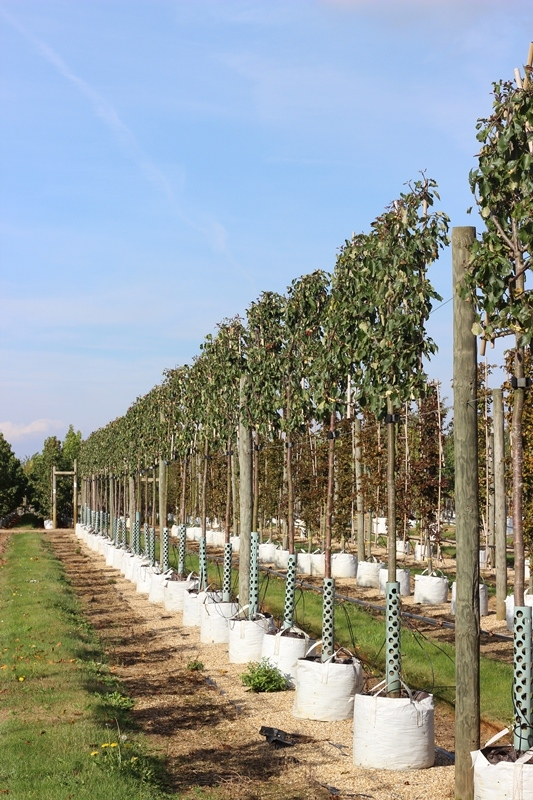Pleached Malus Rudolph, 1.8m clear stem with a 1.2 x 1.2, panel