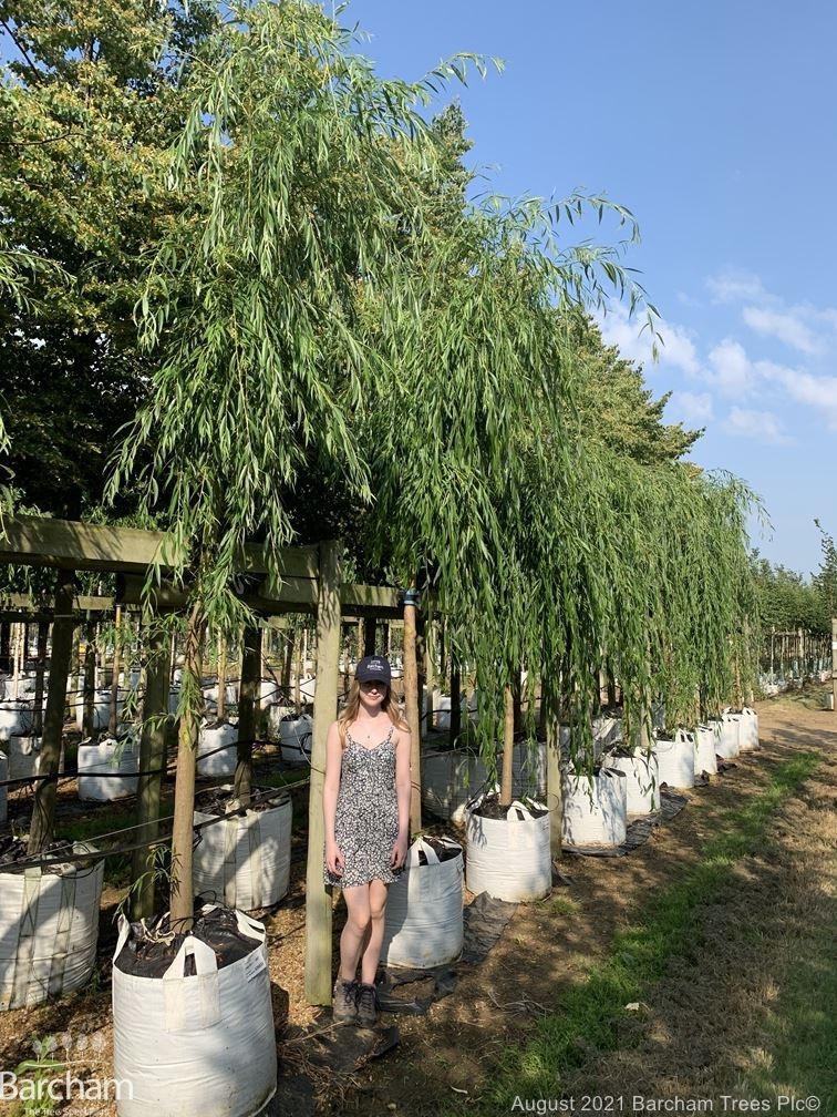 Instant Salix alba tristis chrysocoma